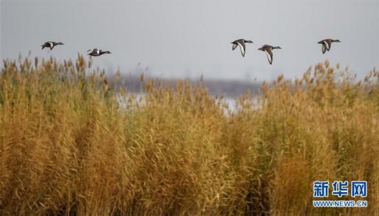 (环境)(2)水生态改善乌梁素海成鸟类天堂
