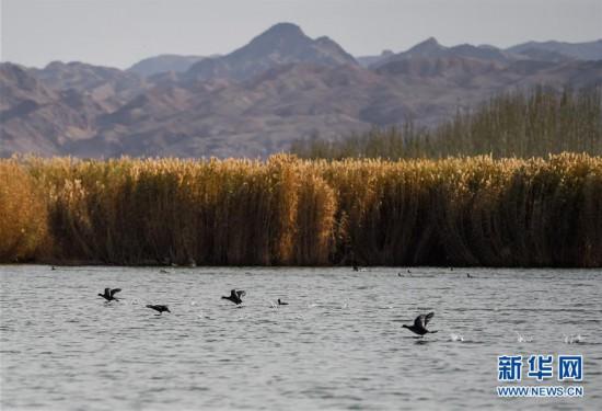 (新华视界)(2)水生态改善乌梁素海成鸟类天堂