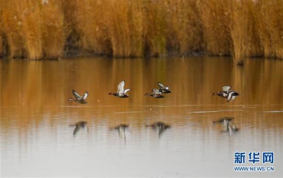 (环境)(4)水生态改善乌梁素海成鸟类天堂